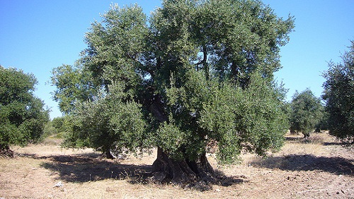 Xylella, Ue conferma decisioni Puglia. Ma mancano solide basi scientifiche